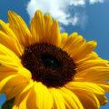 zonnebloemenspoor door Het Groene Spoor